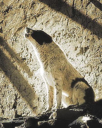 Иранские волкодавы  Ahk